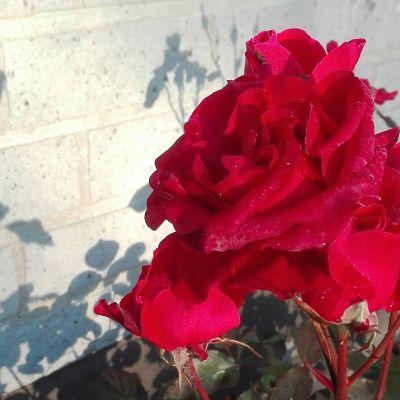 Puutarhan ruusu selviytyi todennäköisesti pakkasyöstä.