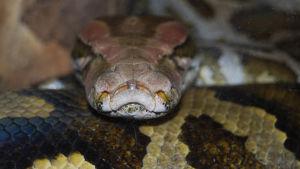 En tigerpyton orm