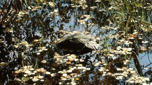 kellastuneita koivunlehtiä järvivedessä