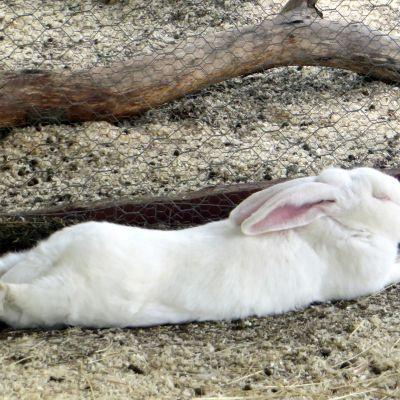 Valkoinen iso kani Kuopion eläinpuistossa.