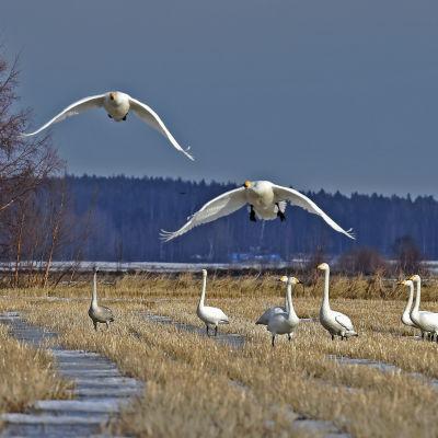 Svan landar på Söderfjärden.
