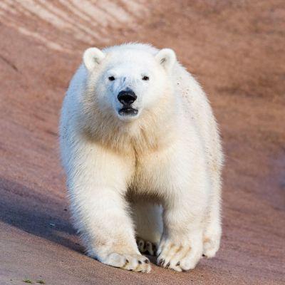 Ranuan jääkarhunpentu Sisu.