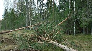 Omkullfallna träd vid en skogskant.