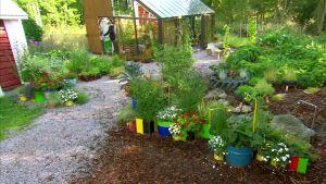 Prunkande trädgård kring växthuset på Strömsö