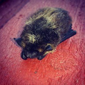 Lähikuvassa lepakko nukkuu seinällä.