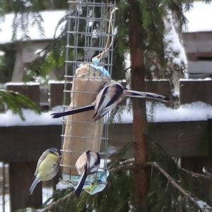 Två stora korvar med fågelmat i trädgården med blåmesar och stjärtmesar.