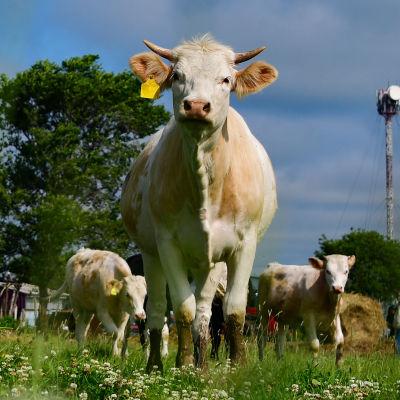 En ko som står på en äng tittar mot kameran.