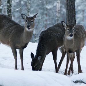 Viidestä lahjana saadusta vasasta on kasvanut eteläiseen Suomeen ainutlaatuisen vahva valkohäntäpeurojen kanta.