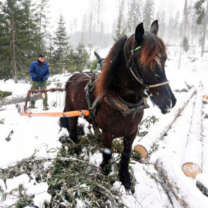Heiki teki viisaan päätökseen vaihtaessaan metsäkoneet moottorisahaan ja hevoseen.