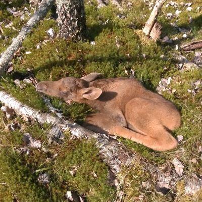 Älgkalv vilar i mossan i Ingå