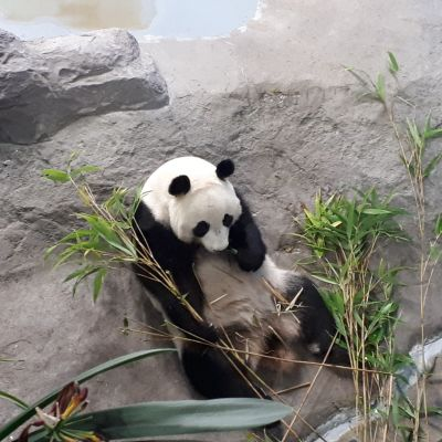 Lumi maistaa kotimaista koekasvatettua bambua.