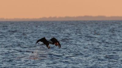 Havsörn flyger över havet och tar en ejderunge.