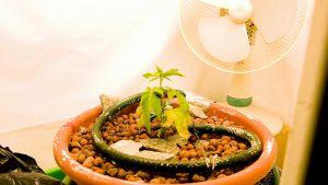 Kannabis-planta