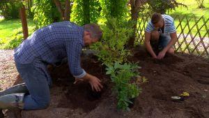 Owe och Jonathan planterar rododendron