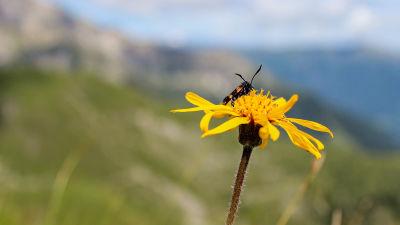 En insekt sitter på en gul blomma. I bakgrunden syns fjäll och grönskande dalar.