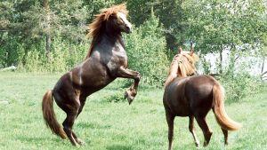 Kaksi hevosta laitumella