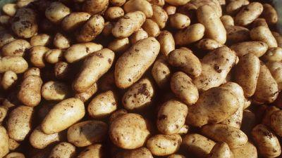 Potatis i mängder