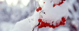 Rönnbär på vintern.