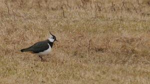 En tofsvipa, en liten svartvit fågel med en ofs på huvudet, vandrar över ett fält.
