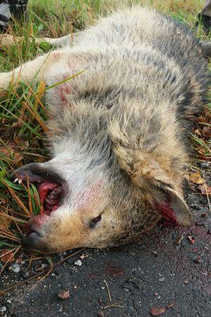 En närbild på en död varg.