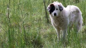 Pyrenéerhunden har länge använts som herdehund i Tyskland.