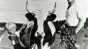 Emäntä lypsää käsin lehmää, isäntä huitoo koivunoksilla hyönteisiä lehmän ympäriltä.