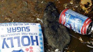 Det finns omkring två miljoner råttor i New York.