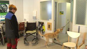 En gul labrador som tränas till assistenthund lär sig att stänga en dörr.