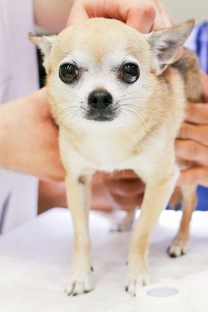 Chihuahua seisoo tutkimuspöydällä tutkittavana