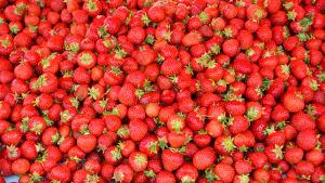 På bilden syns en hel massa jordgubbar fotograferade uppifrån.
