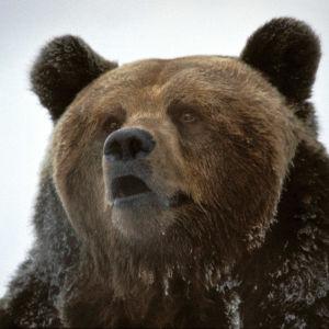 Närbild på björnen