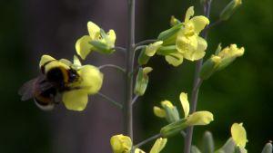 Humla söker nektar på blomma.