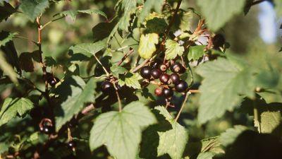 Svarta vinbärsblad blir god drýck