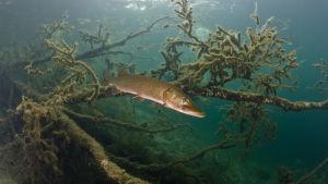 gädda fotograferad under vattnet