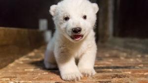 Isbjörnsunge på Tierpark Berlin.