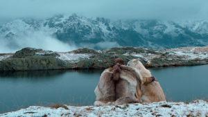 Cornélius ja valkoinen susi istuvat vierekkäin lumisella kukkulalla elokuvassa Cornelius, ulvova mylläri