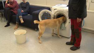 En gul labrador retriever som ska bli assistenthund övar på att fylla på en tvättmaskin.