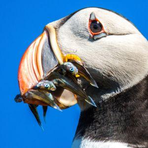 Merilinnut saapuvat joka vuosi Norjan Hornøyan saarelle jatkamaan sukua.