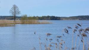 Vy över en sjö. Till vänster syns ett träd, till höger i förgrunden vass.