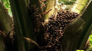 öljypalmun hedelmäterttu puussa (ohjelmasta Ulkolinja 18.9.14)
