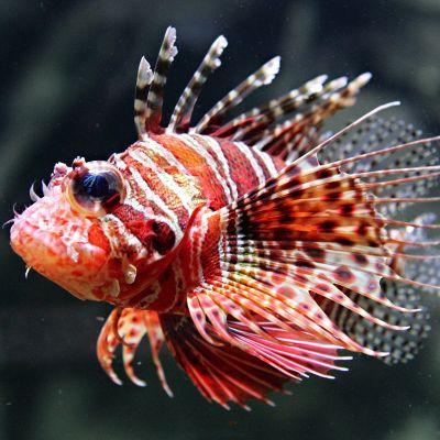 Puna-valkoraidallinen, piikikäs kala lähikuvassa.