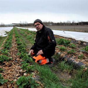Anders Lång i arbetskläder i en av företagets jordgubbsodlingar där plantorna delvis är under fibertyg.