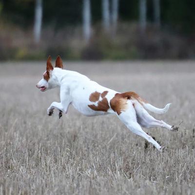 Juokseva koira pellolla, juuri hyppy kesken.