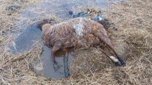 Döda djur i Lappfjärd i Kristinestad. Ägaren misstänks för djurskyddsbrott.