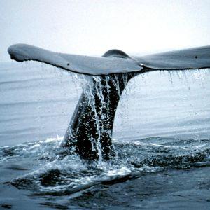 Ryhävalaan pyrstö