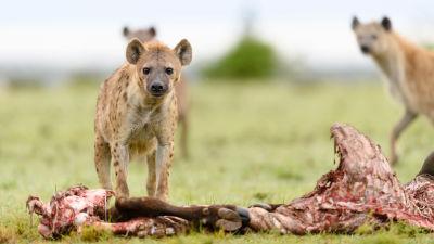 Jagande hyenor vid sitt byte.