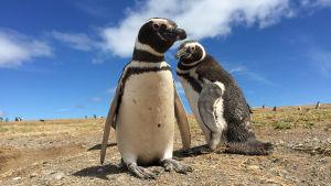 Magellanpingviner