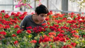 Näyttelijä Aran Sina-Keshvari Raminin roolissa Ensilumi-elokuvassa, pikkupojan ympärillä valtavasti punaisia pelargonioita.