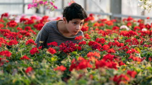 En liten pojke framför röda blommor.