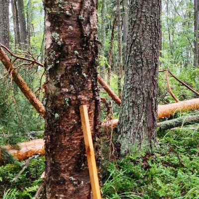 Myrskyn kaatama puu metsässä.